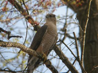 Cooper's Hawk, probably male