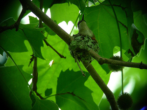 Ruby-throated Hummingbird Nest Building