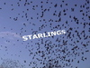 Starlingsframe_1